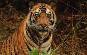Сезон сафари на тигров в Индии открыт