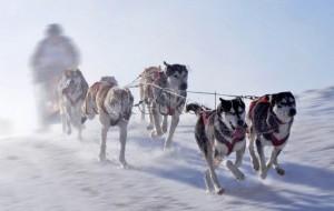 В Алтайском крае устроят гонки на собачьих упряжках