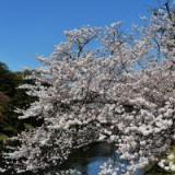 Япония: Сакура обогнала весну на пять дней