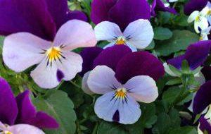 В столице Финляндии начался цветочный фестиваль