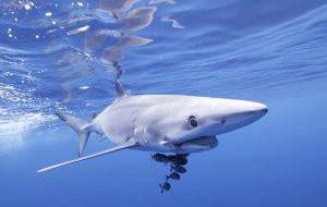 Испания закрыла пляжи из-за визита синих акул