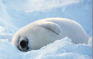 В Кенозерском нацпарке туристов просят поберечь тюленят
