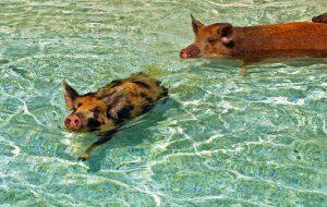 Туристам запретили кормить плавающих свиней