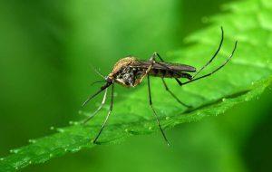 Роспотребнадзор о комарах-переносчиках на Канарах