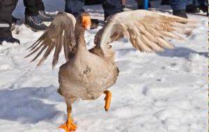 Блиноборье и гусиные бои ожидаются на Масленице в Суздале