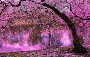 Когда начнется цветение сакуры и сколько это стоит