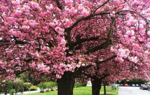 В Японии озвучили даты начала цветения сакуры