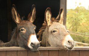 На популярном курорте в Испании полным туристам запретят кататься на ослах
