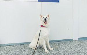 В аэропорту Хельсинки начнут работать обученные обнаружению Covid-19 собаки