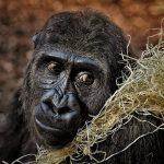 Гориллы в зоопарке Атланты дважды сдали положительный тест на COVID-19